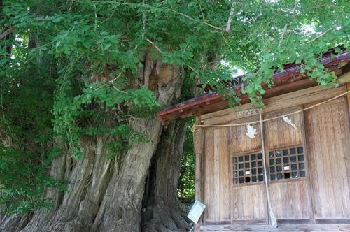 Tree10ichou.jpg