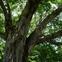 Tree1Keyaki.jpg